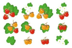 conjunto de ilustraciones con frutas exóticas de mora de nube, flores y hojas aisladas sobre fondo blanco. vector