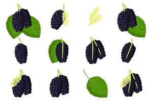 Set of illustrations with Black mulberries exotic fruits, flowers and leaves isolated on a white background. vector