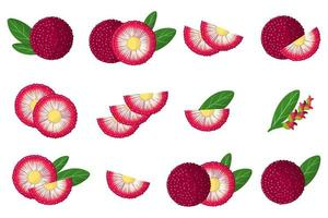 Set of illustrations with Bayberry exotic fruits, flowers and leaves isolated on a white background. vector