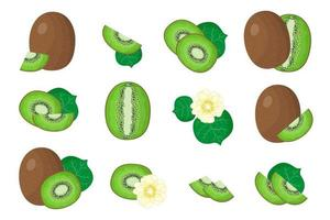 Set of illustrations with Kiwifruit exotic fruits, flowers and leaves isolated on a white background. vector