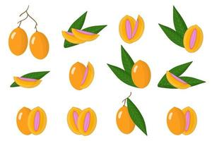 Set of illustrations with Maprang exotic fruits, flowers and leaves isolated on a white background. vector