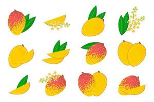 Set of illustrations with Mango exotic fruits, flowers and leaves isolated on a white background. vector