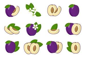 Set of illustrations with Plum exotic fruits, flowers and leaves isolated on a white background. vector