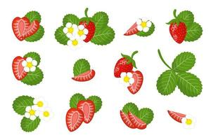 Set of illustrations with Wild strawberry exotic fruits, flowers and leaves isolated on a white background. vector