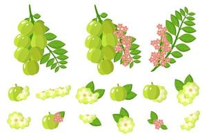Set of illustrations with Star gooseberry exotic fruits, flowers and leaves isolated on a white background. vector