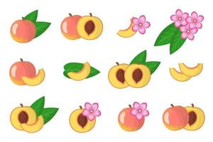 Set of illustrations with Peach exotic fruits, flowers and leaves isolated on a white background. vector