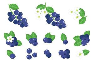 Set of illustrations with Shadberry exotic fruits, flowers and leaves isolated on a white background. vector