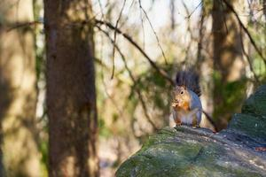 Squirrel eating a nut on a stone photo