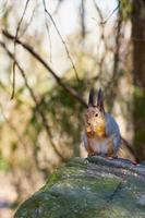 Vertical view of a squirrel eating a nut photo