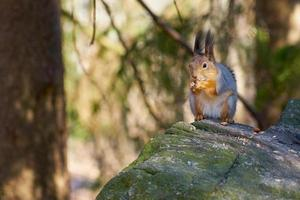 Squirrel sitting on a stone eating a nut photo