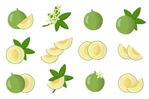 Set of illustrations with White sapote exotic fruits, flowers and leaves isolated on a white background. vector