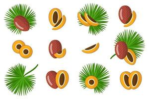 Set of illustrations with Mauritia exotic fruits, flowers and leaves isolated on a white background. vector