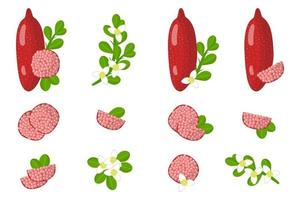Set of illustrations with Red fingerlime exotic fruits, flowers and leaves isolated on a white background. vector