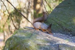Squirrel checking out nuts on stone photo