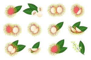 Set of illustrations with Rambutan exotic fruits, flowers and leaves isolated on a white background. vector