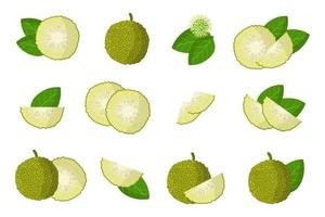 Set of illustrations with Maclura exotic fruits, flowers and leaves isolated on a white background. vector