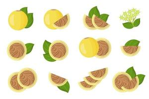 Set of illustrations with Strychnos spinosa exotic fruits, flowers and leaves isolated on a white background. vector
