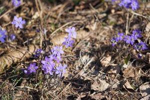 Purple hepatica flowers photo