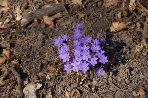 Group of purple hepatica flowers photo
