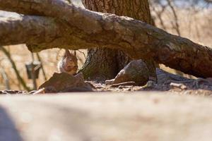 Squirrel eating a nut under a tree branch photo