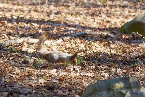 Squirrel hiding nuts in dry foliage photo