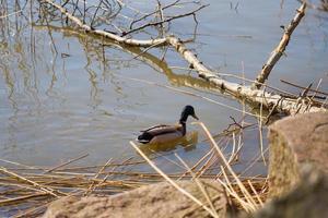 pato en el agua foto