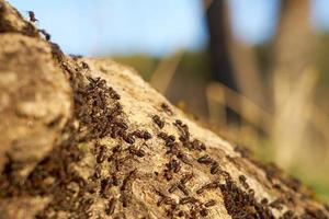 Red ants on an anthill photo
