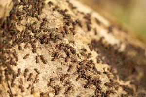 Close-up of red ants on an anthill photo