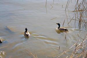 Two ducks in the water photo