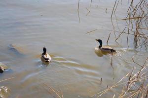 dos patos en el agua foto