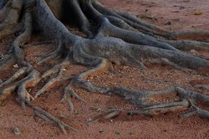 Fig tree roots photo