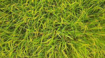 vista aérea superior del fondo de arroz verde foto