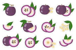 Set of illustrations with Purple star apple exotic fruits, flowers and leaves isolated on a white background. vector