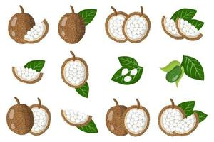 Set of illustrations with Marang exotic fruits, flowers and leaves isolated on a white background. vector