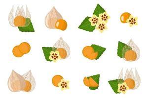 conjunto de ilustraciones con frutas exóticas de physalis peruviana, flores y hojas aisladas sobre fondo blanco. vector