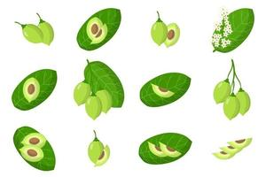 Set of illustrations with Kakadu plum exotic fruits, flowers and leaves isolated on a white background. vector