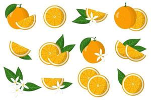 Set of illustrations with orange exotic citrus fruits, flowers and leaves isolated on a white background. vector