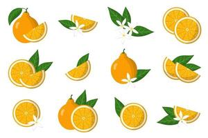 Set of illustrations with tangelo exotic citrus fruits, flowers and leaves isolated on a white background. vector