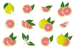 Set of illustrations with pomelo exotic citrus fruits, flowers and leaves isolated on a white background. vector