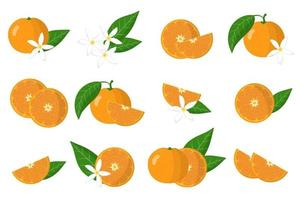 Set of illustrations with mandarin exotic citrus fruits, flowers and leaves isolated on a white background. vector