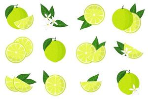 Set of illustrations with limetta exotic citrus fruits, flowers and leaves isolated on a white background. vector