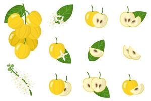 Set of illustrations with Acronychia exotic fruits, flowers and leaves isolated on a white background. vector