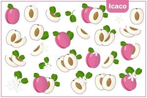 Set of vector cartoon illustrations with Icaco exotic fruits, flowers and leaves isolated on white background