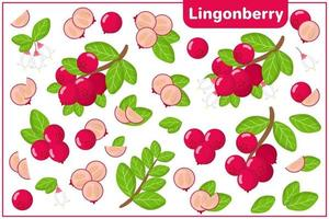 Set of vector cartoon illustrations with Lingonberry exotic fruits, flowers and leaves isolated on white background