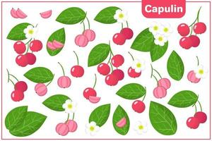 Set of vector cartoon illustrations with Capulin exotic fruits, flowers and leaves isolated on white background