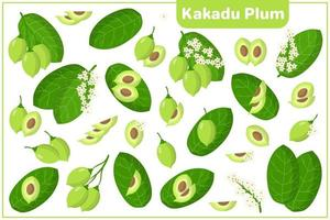 Set of vector cartoon illustrations with Kakadu Plum exotic fruits, flowers and leaves isolated on white background