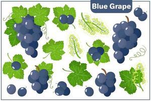 Conjunto de ilustraciones de dibujos animados de vectores con frutas exóticas de uva azul aislado sobre fondo blanco.