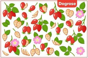Set of vector cartoon illustrations with Dogrose exotic fruits, flowers and leaves isolated on white background