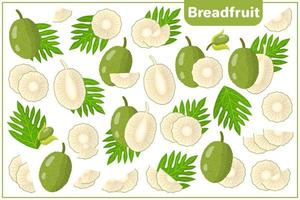 Set of vector cartoon illustrations with Breadfruit exotic fruits, flowers and leaves isolated on white background