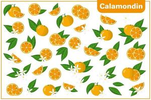 Set of vector cartoon illustrations with whole, half, cut slice Calamondin exotic fruits, flowers and leaves isolated on white background